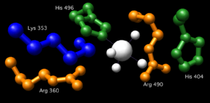 Glucose 6-phosphatase - The active site of vanadium containing chloroperoxidase.  The residues Lys353, Arg360, Arg490, His404, and His496 correspond to Lys76, Arg83, Arg170, His119, and His176 in Glc 6-Pase. (From pdb 1IDQ)