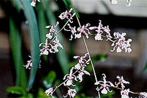 Oncidium - Oncidium incurvum - another view