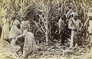 History of Jamaica - Sugar cane cutters in Jamaica, 1891