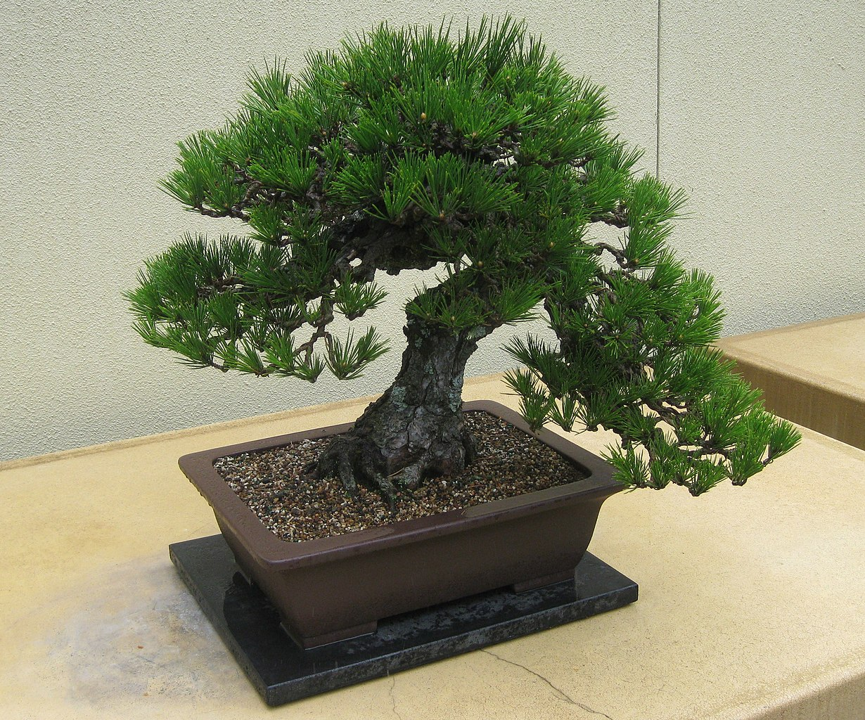 File Pinus Thunbergii Bonsai Jpg Wikipedia