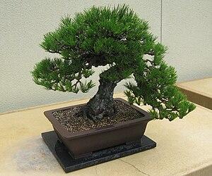 Pinus thunbergii - Image: Pinus thunbergii Bonsai