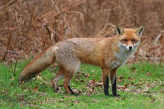 Allegheny Wildlife Management Area - Red fox (Vulpes vulpes) is found in the   Allegheny WMA