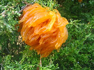 Gymnosporangium juniperi-virginianae - Image: Cedar apple rust 2