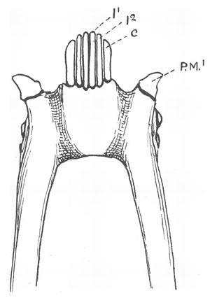 Toothcomb - The lemuriform toothcomb, viewed from the underside of the lower jaw