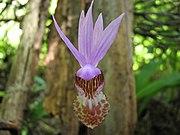 Calypsoorchid3.JPG