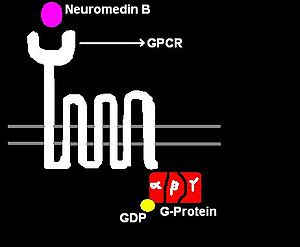 Neuromedin B - Figure 1: NMB, 7-TMR receptor and G-protein