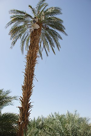 Pollination management - Date pollinator up an 'Abid Rahim' palm tree