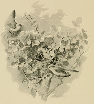 Pierre Jacques Smit - A nest of a Socotra warbler, from The Natural History of Sokotra and Abd-el-Kuri by William Robert Ogilvie-Grant and Henry Ogg Forbes, 1903