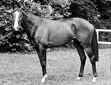 Shergar shown in profile, left side on, with his head turned to the camera