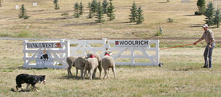 sheep dog trials utah