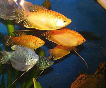 Golden and Blue Gouramis