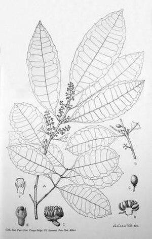 Albert Cleuter - Xymalos monospora by Cleuter