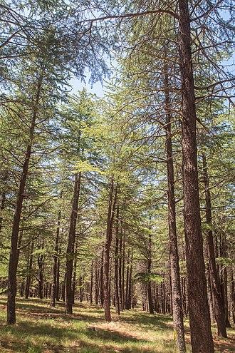 National Arboretum Canberra - Himalayan Cedar (Cedrus deodara) grove, National Arboretum Canberra