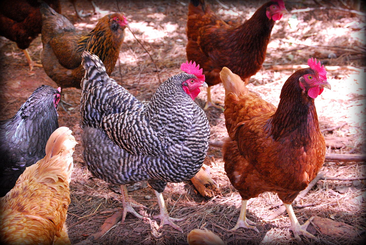 File:Flock of Rhode Island Red, Easter Egger, and Barred ...
