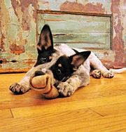 An Australian Cattle Dog puppy, bred to herd livestock in the heat and harsh conditions of the bush, chewing a bone.
