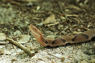 Phinizy Swamp Nature Park - Image: Copperhead on Beaver Dam Trail, Phinizy Swamp Nature Park