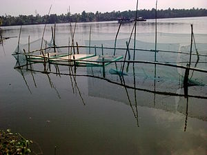 Shrimp farming in the backwaters near Thycattu...