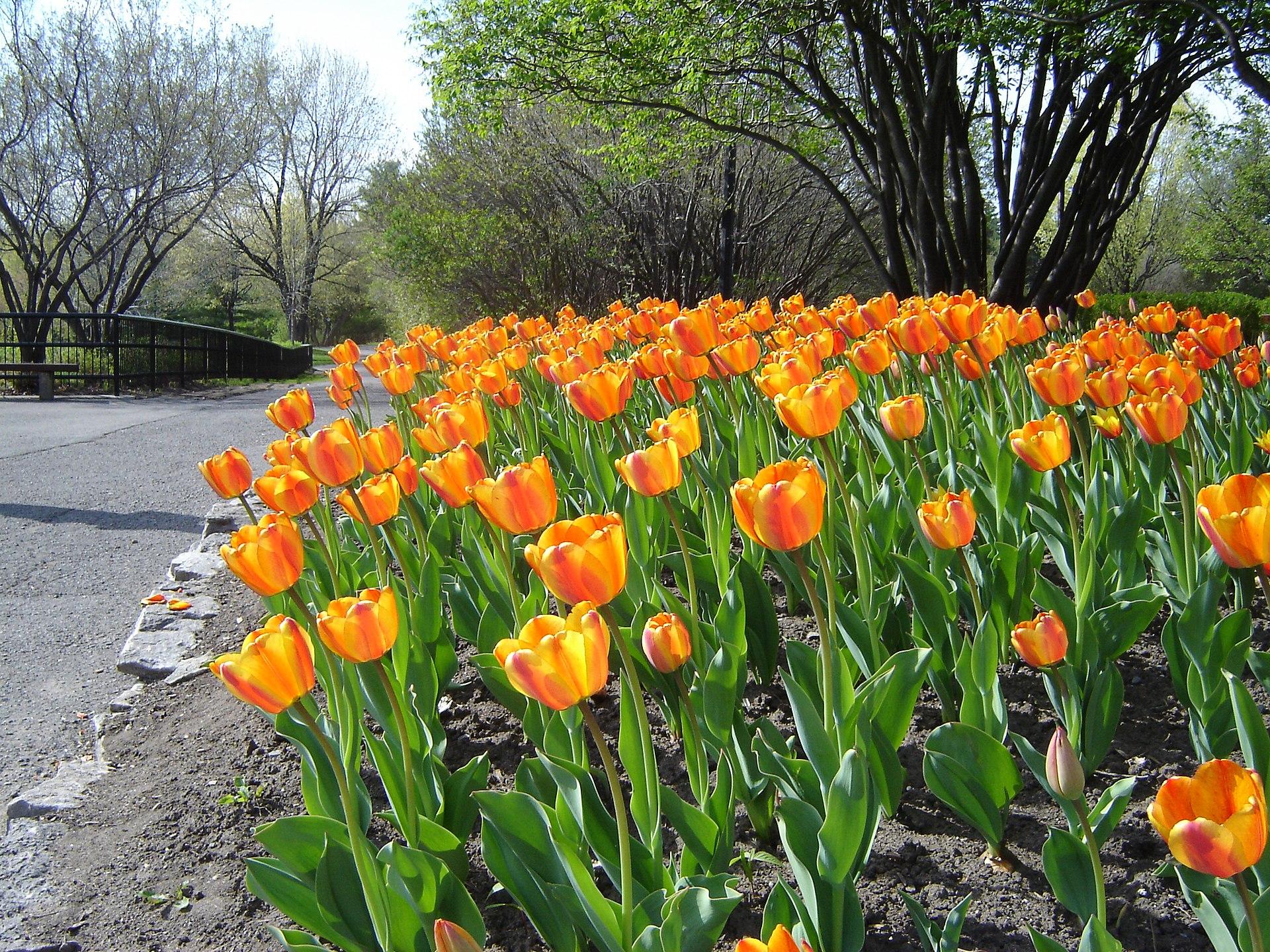Canadian Tulip Festival Wikipedia