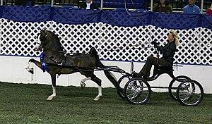 Hackney pony - A Hackney harness pony