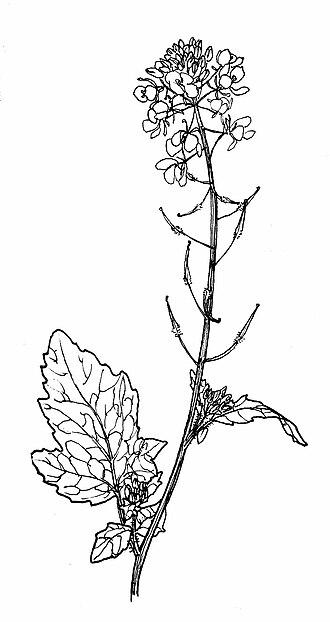 Mustard plant - Wild white mustard (Sinapis alba)