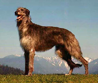 Scottish Deerhound - Image: Deerhound Fernhill's Kendra
