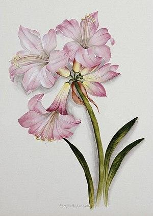 Ethel May Dixie - Amaryllis belladonnaby Ethel Dixie c1910