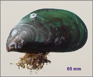 Perna viridis - Perna viridis showing the byssus, the downward-pointing beak, and the dark green color that becomes brownish towards the umbo