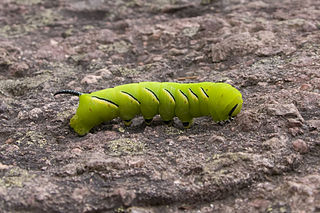 Hornworm (sphynx moth larvae)
