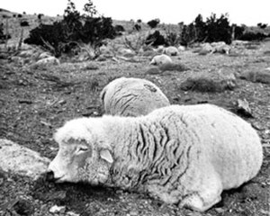 Statement on Chemical and Biological Defense Policies and Programs - Dead sheep resulting from the Skull Valley sheep kill