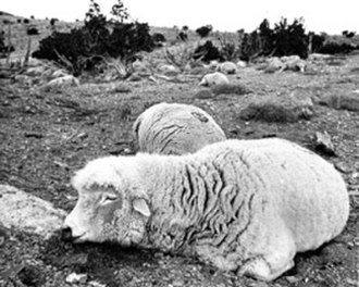 Dugway sheep incident - Dead sheep owned by Ray Peck in Skull Valley, 1968