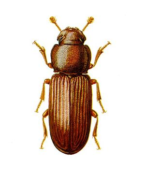 Home-stored product entomology - Red flour beetle