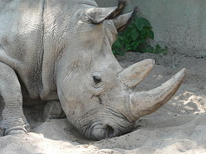 Rhinoceros - Rhino from Dvur Kralove nad Labem