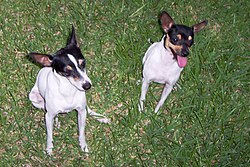 Male and female Toy Fox Terriers of the common 'Tri-Color' variant.