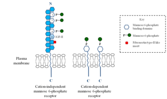 Mannose 6-phosphate receptor - Image: Overall structure the cation independent and the cation dependent mannose 6 phosphate receptor