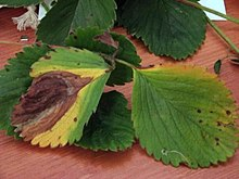 Leaf blight.jpg