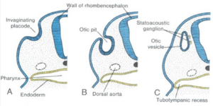 Otic vesicle - General formation of the otic vesicle