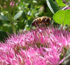 Honey bee on Sedum autumn joy (Hylotelephium t...