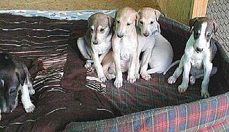 Hortaya borzaya - Four-week-old Hortaya puppies