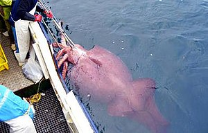 Colossal squid - This specimen, caught in early 2007, is the largest cephalopod ever recorded. Here it is shown in its live state during capture, with the delicate red skin still intact and the mantle characteristically inflated.