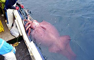 Colossal squid - This specimen, caught in early 2007, is the largest cephalopod ever recorded. Here it is shown alive  during capture, with the delicate red skin still intact and the mantle characteristically inflated.