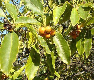 <i>Pittosporum undulatum</i> Australian tree