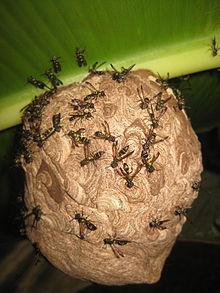 Bộ sưu tập côn trùng 2 - Page 14 220px-Polybia_occidentalis_Jatun_Sacha