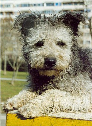 Pumi dog - The coat is curly, thick, and of medium length