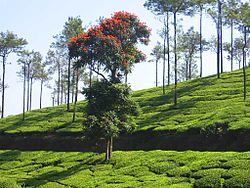 Vagamon TeaPlantations