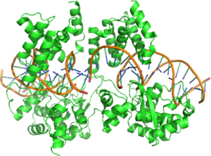 Structure of a Cre Recombinase Dimer bound to its substrate DNA.