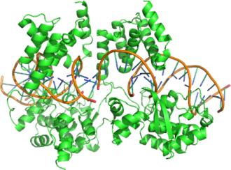 Cre recombinase - Structure of a Cre recombinase enzyme (dimer) bound to its substrate DNA