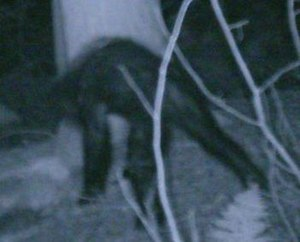 Bigfoot - Image: Croped BFRO image