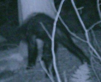 "Bigfoot - A 2007 photo of an unidentified animal that the Bigfoot Field Research Organization claims is a ""juvenile Sasquatch"""