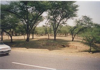 Thar Desert - Checking of shifting sand dunes through plantations of Acacia tortilis near Laxmangarh town