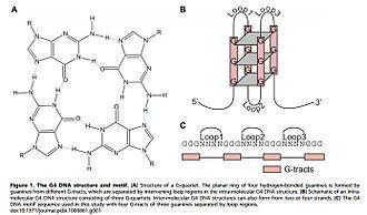 G-quadruplex - (replacement figure 1)